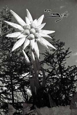 092 - stella alpina